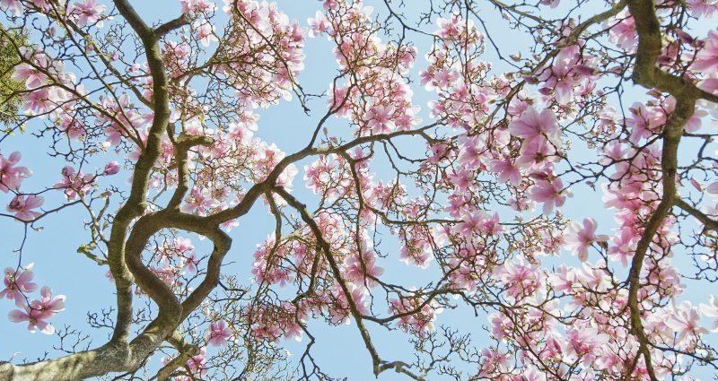 Magnolie, Bäume sterben langsam